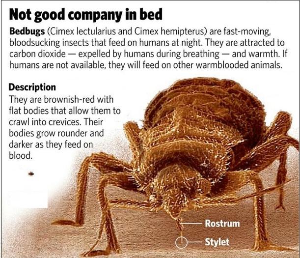 bedbug-graphic-new