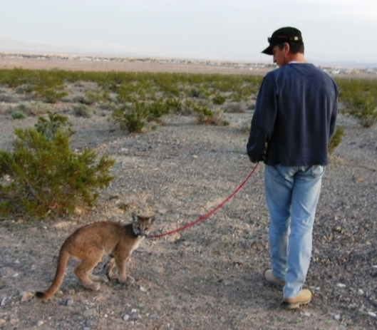 cougar_walk